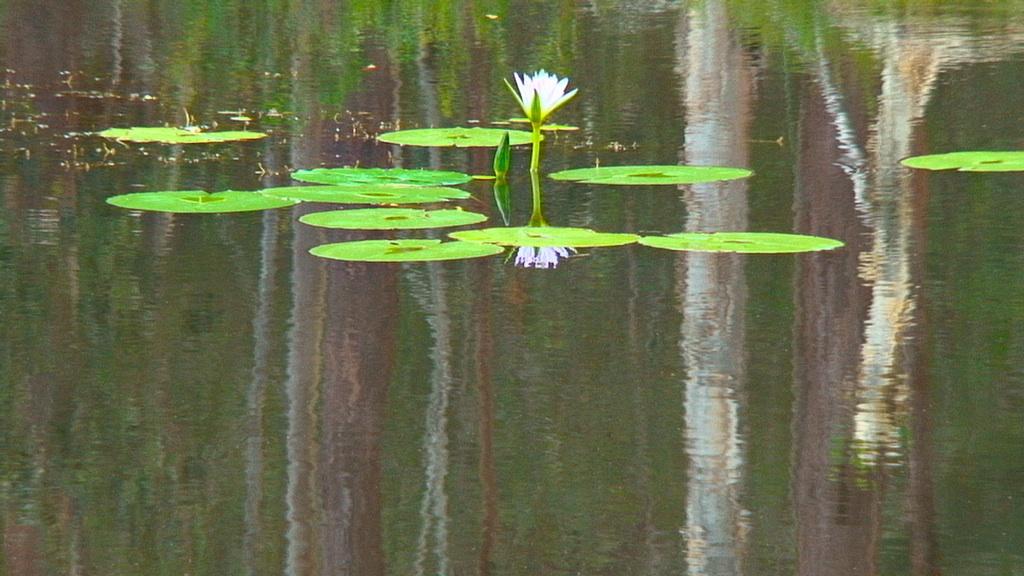 DSC03005-waterlilies-in-dam_xl