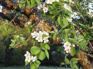 Грушевые деревья в цвету